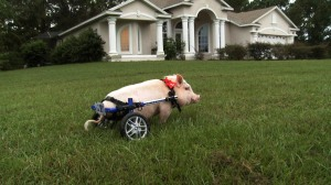 Chris P. Bacon takes a spin on his home turf in NATURE: MY BIONIC PET.