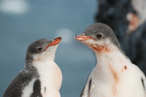 A couple of Gentoo chicks.  Photo © Ruth Peacey.