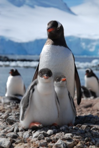 A Gentoo family pose for the camera.  Photo © Ruth Peacey.