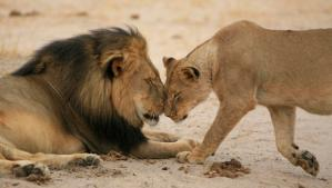 cecil-and-lioness-brent-stapelkamp (1)
