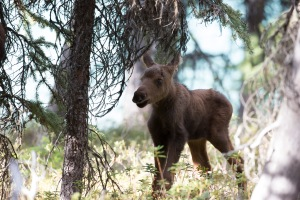Little Calf at five days old. Jasper National Park Alberta, Canada. Photo Twig Eaters Inc.