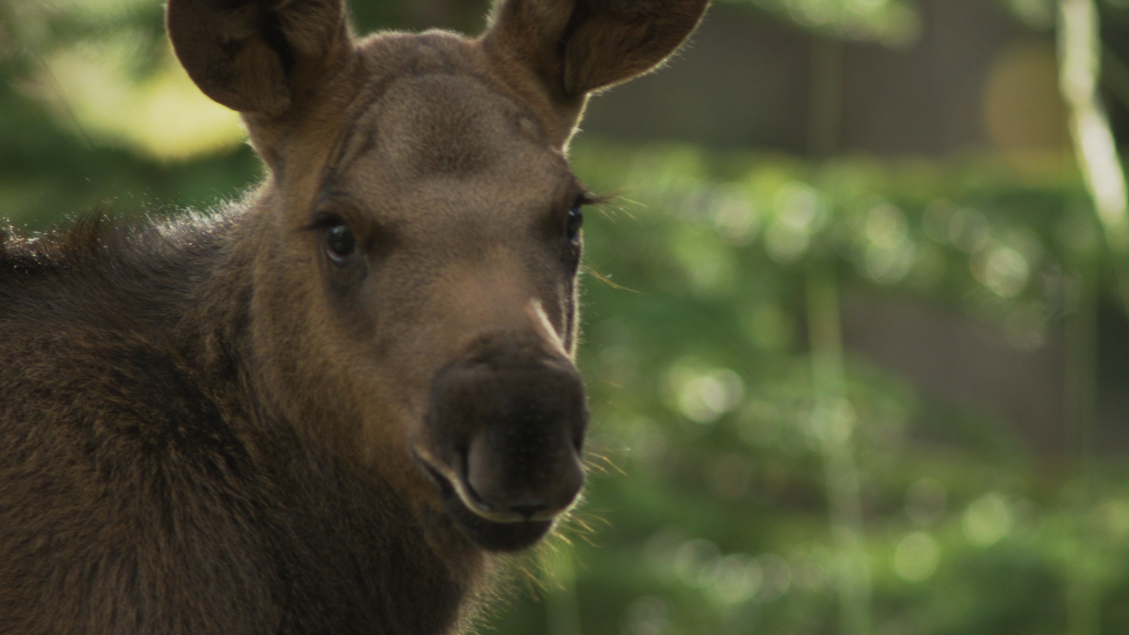 Is This The Face Only A Mother Can Love Little Moose Calf One Of