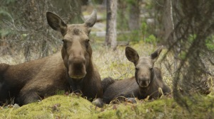 Little Calf and mom Fall 2014, Jasper National Park Alberta, Canada. Photo c Twig Eaters Inc.