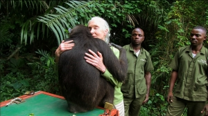 Dr Jane Goodall receives spontaneous goodby embrace from Wounda, formerly a baby orphaned chimp, now grown, healthy and released back into the wild. Photo courtesy of Tigress Productions.