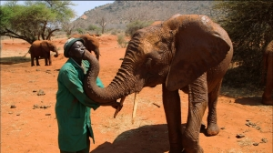 Head Keeper Edwin Lusichi with once traumatized orphan elephant, Lempaute, as they reunite during the elephant's reintroduction to the wild at Tsavo East National Park, Kenya. From NATURE; ANIMAL REUNIONS. Photo courtesy Tigress Productions.