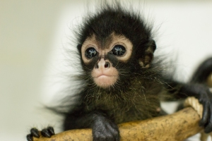 The future looks bright for this adorable baby spider monkey. A near casualty in the Guatemalan illegal pet trade, this orphan was rescued by the ARCAS animal rescue staff in Guatemala, and will be rehabilitated and released into the wild as an adult. Her plight is documented on PBS in NATURE: JUNGLE ANIMAL HOSPITAL. Photo: Anna Place/BBC.