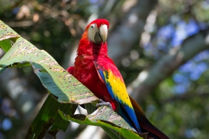 Adult scarlet macaw. Photo: Alejandro Morales.