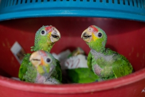 More than 100 baby parrots a month arrive at ARCAS during breeding season, the prime time for pet traffickers to snatch and smuggle them out of Guatemala. Photo: Anna Place/BBC.