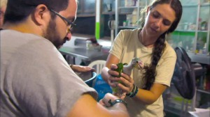 Dr. Alejandro Morales and zoologist Anna Bryant examine a rescued baby parrot. Photo ©BBC.