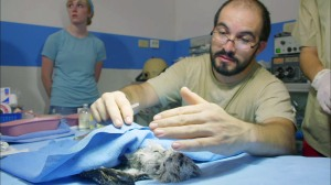 Veterinarian Alejandro Morales wakes up his patient, a baby northern potoo bird, after surgery. Photo ©BBC.