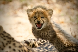 A baby Cheetah in the Hoedspruit Endangered Species Centre, Namibia. Photo: Anwar Mamon/Plimsoll Productions.