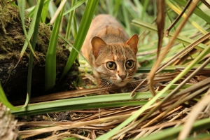 A Rusty Spotted cat doing what comes naturally, as seen in NATURE: THE STORY OF CATS on PBS. Photo: Ruth Campbell/©Plimsoll Productions.