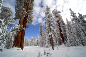 Sequoia National Park, California, is home to the largest trees on Earth. Their dependence on water from the Sierra's snowpack is key to their survival. Photo courtesy Nimmida Pontecorvo/©THIRTEEN Productions LLC.