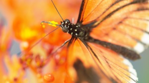 A Postman Butterfly gathers pollen in Deerfield, Mass., one of the many extraordinary images featured in SEX, LIES AND BUTTERFLIES debuting on PBS NATURE. Photo courtesy Ann Johnson Prum/ ©THIRTEEN Productions LLC.