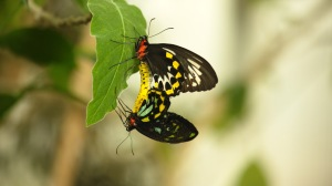 Birdwing Butterflies mating in Deerfield, Mass., a process that can take hours. Photo courtesy Ann Johnson Prum/ ©THIRTEEN Productions LLC.