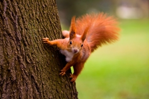 He's red, he's adorable, and he's featured in NATURE: A SQUIRREL'S GUIDE TO SUCCESS on PBS. Photo courtesy Seawhisper/Shutterstock.