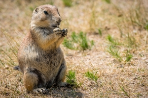 Prairie dogs, as seen in NATURE: A SQUIRREL'S GUIDE TO SUCCESS on PBS, live on North America's prairies and open grasslands. Photo courtesy John DeWinter/Shutterstock.