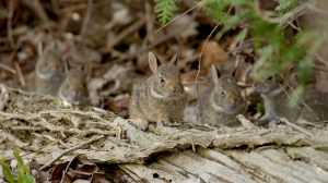 Two-week-old baby Cottontail rabbits in Port Rowan, Ontario, Canada. Photo © Remarkable Rabbits Inc.