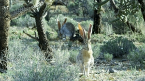 Despite their name, Antelope Jackrabbits are hares not rabbits. Photo © Remarkable Rabbits Inc.