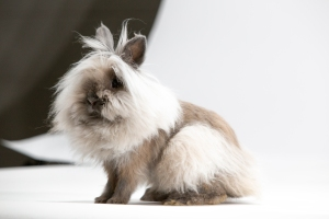 Coifed to perfection, this Lionhead rabbit, a domestic breed, competed at the American Rabbit Breeders Association rabbit show in 2018. Photo © Remarkable Rabbits Inc.