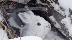 Can this little fuzzball be any cuter or stressed? Snowshoe Hares are resilient denizens of snow covered North American landscapes but face determined predators. NATURE: REMARKABLE RABBITS documents an especially challenging chase in Yukon, Canada, triggered by the hare's prime nemesis, a hungry Canada lynx. Photo © Remarkable Rabbits Inc.